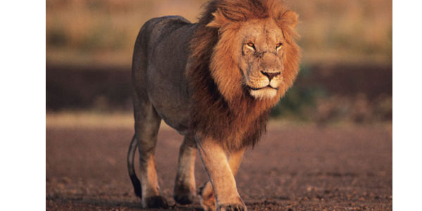Ban Lion Trophy Imports to the U.S.