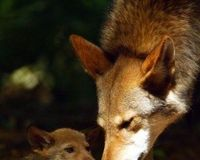 Protect the Red Wolf