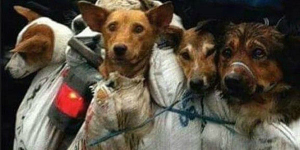 Dogs tied up for Yulin dog meat festival