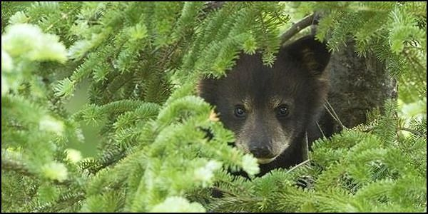 Say NO to Hound Hunting and Baiting Black Bears in Montana