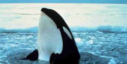 Help Save Killer Whales in Inukjuak, Quebec.