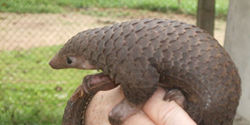 Save Thai Pangolins!