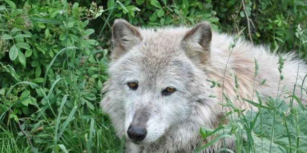 Stop Killing OUR Wolves in the Northern Rocky Mountain States, Wisconsin, Montana, and Alaska NOW