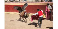 Peru- Stop Using Endangered Condors in Bullfights