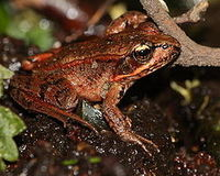 Save San Francisco's red-legged frog!