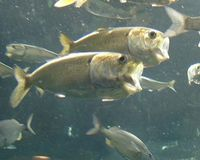 Vote for Menhaden, the Most Important Little Fish in the Sea!