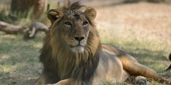 Save the Asiatic Lion in India From Death Traps