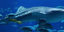 Demand China stop killing whale sharks for lipstick!