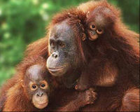 Close Orangutan Brothels in Asia