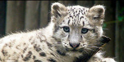 Stop Using Endangered Snow Leopards in Chinese Medicine