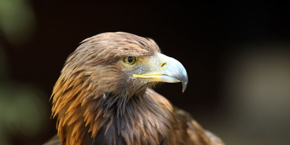 Save the Golden Eagle from Grouse Shoots in Scotland
