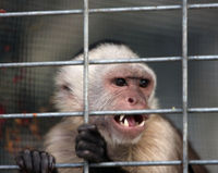 Ban Capuchin Monkeys as Private Pets!