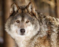 Tell Congress: Protect Wolves in the Lower 48