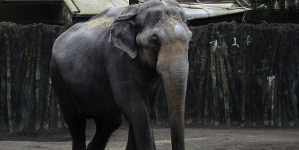 LET PACKY THE ELEPHANT RETIRE FROM COLD WET CONCRETE FLOORS & FORCED SEMEN HARVESTING!