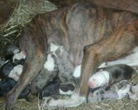 Stop Sickpuppyz Pitbull Breeders. Backyard Breeding nearly at its worst.