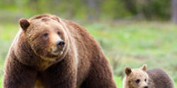 Help Protect the Last Remaining Yellowstone Grizzly Bears!