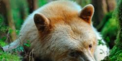 Save the Kermode Bear and Rainforest