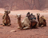 Stop the Sick Slaughtering of Camels