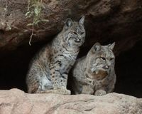 Demand Bobcat Trapping Be Made Illegal