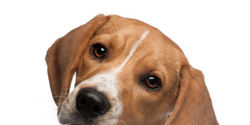 Stop Importing Beagles for Medical Experiments!