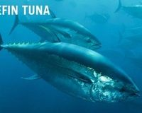 Stop National Geographic's Bluefin Slaughter