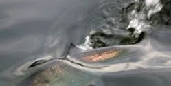 Protect Threatened River Herring and Shad