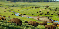Stop Cull of 900 Bison in Yellowstone National Park!