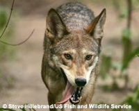 Stop Killing North Carolina's Endangered Red Wolves!