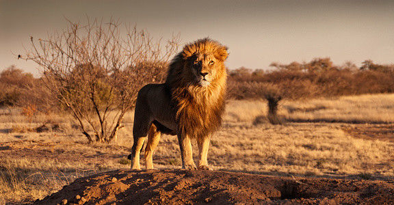 Lion, Care2