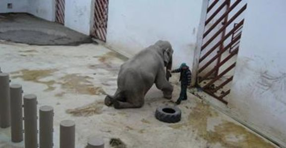 Free Tania the Elephant held captive for 39 yrs