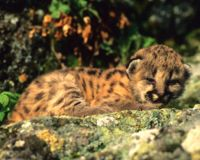 No More Baby Mountain Lion Deaths!