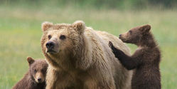 Protect Yellowstone Grizzly Bears