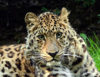 Help Save the Amur Leopard