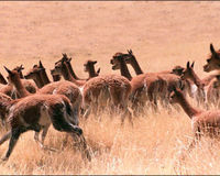 SAVE THE ENDANGERED VICUNA