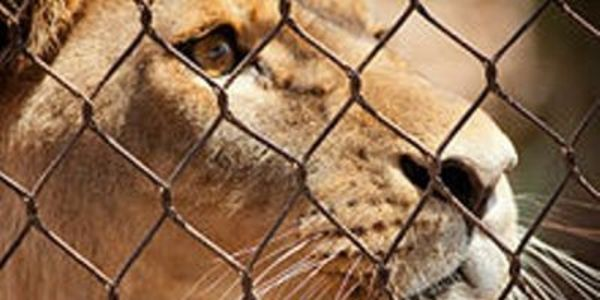 Punish Officers Who Killed Lion Cub and Train Others on How to Humanely Handle Them!!