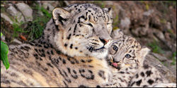 Stop Logging Endangered Snow Leopard Habitat in the Hindu Kush