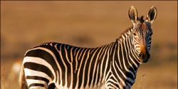 SAVE THE MOUNTAIN ZEBRA