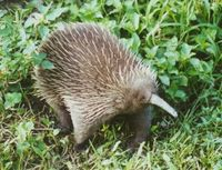 Save the Eastern Long-beaked Echidna