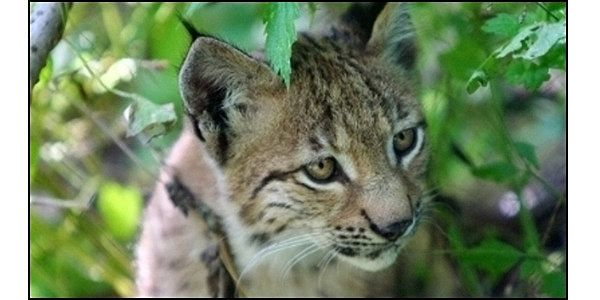 Give Lynx in New Mexico Federal Protection