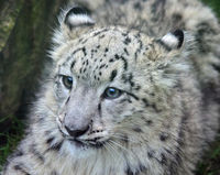 Save the Snow Leopard from Extinction