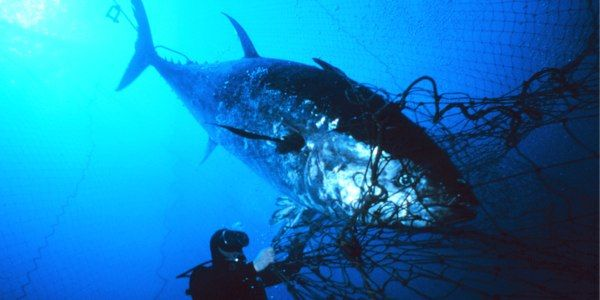 Demand Obama Stop Eating Bluefin Tuna