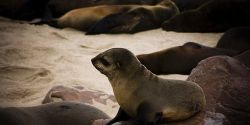 Stop the Namibian Seal Slaughter