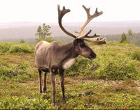 Tell Supermarket Chain to Stop Selling Endangered Reindeer