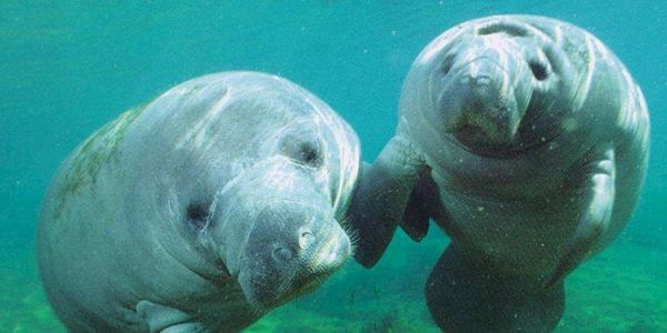 Save Manatees from Pollution