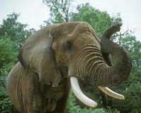 End the cruel slaughter of Elephants for Ivory !