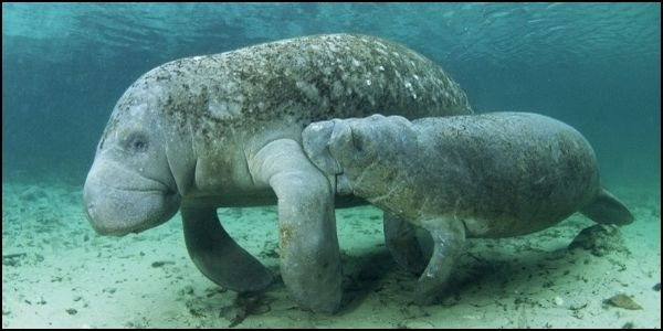 Protect Florida Manatees from Deadly Pollution
