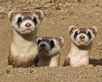 Protect the Endangered Black-Footed Ferret from Poison