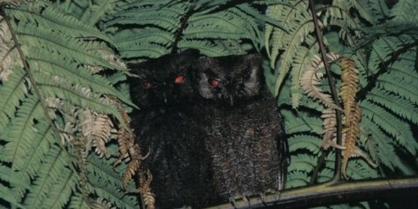 Let us support the Anjouan Scops Owl in its struggle to stay alive