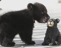 Help save Makoon the Orphan Bear cub