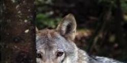 Help Protect The Grey Wolves !